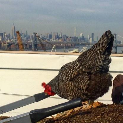 курица на крыше Brooklyn Grange