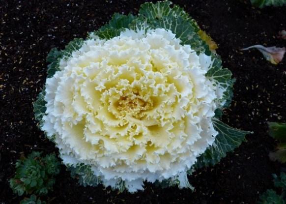 Город, заквітчаний капустою: як вирощувати грюнколь