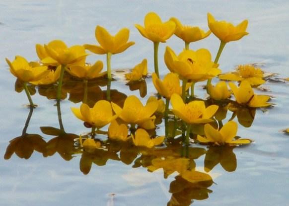 """Різноколірна """"флотилія"""": рослини для декоративної міні-водойми"""