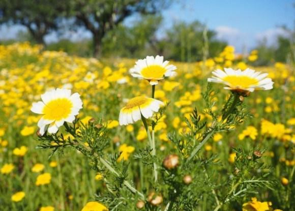 Овочева хризантема: і квітка, і салат