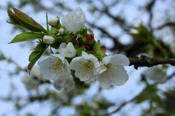 Весняний захист плодових садів