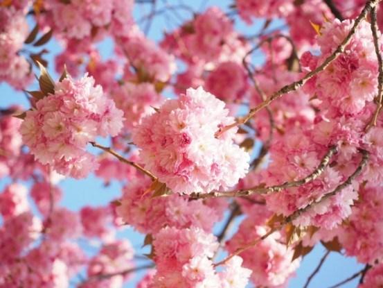 Выращиваем сакуру