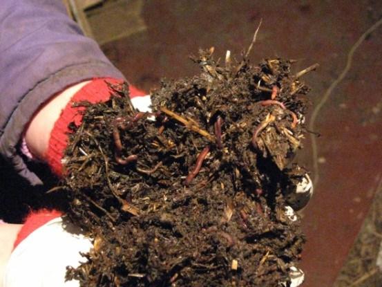 За сутки один червь способен переработать количество органики, равное его собственной массе (средняя масса дождевого червя 0,5 г