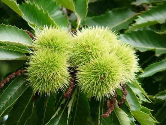 Каштан настоящий плоды дерево