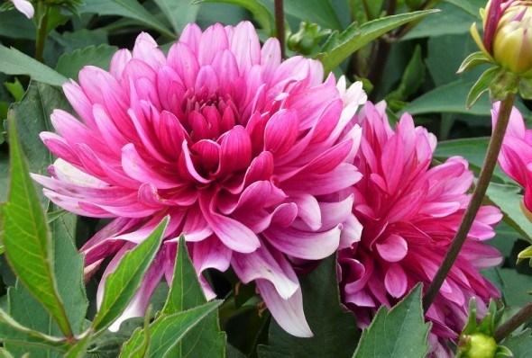 Одна квіточка, дві квіточки: технологія розмноження хризантем