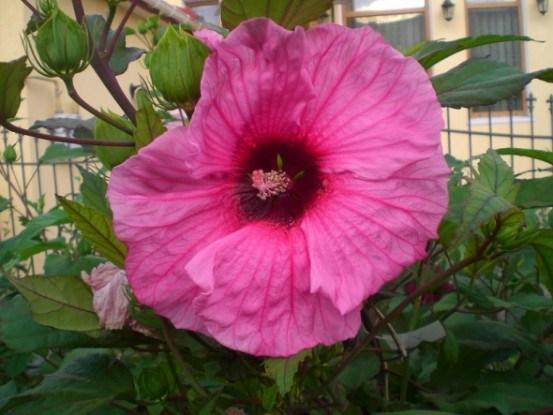 Рослина, схильна до сюрпризів: особливості вирощування гібіскуса трав'янистого