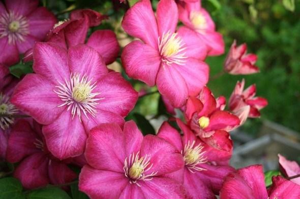 Розовоцветковые сорта клематисов