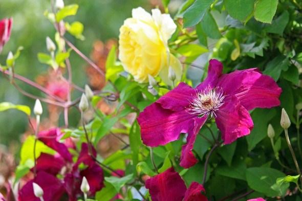 Сховають все непривабливе: квітучі та декоративно-листяні ліани у садибі