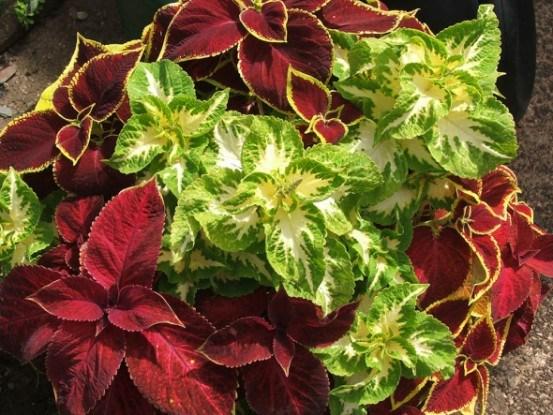 Радуга красок: выращиваем колеус
