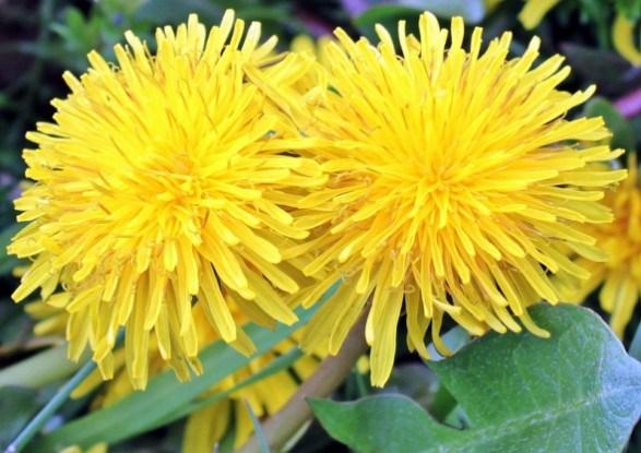 Кульбаба – родинний лікар: цілющі властивості рослини