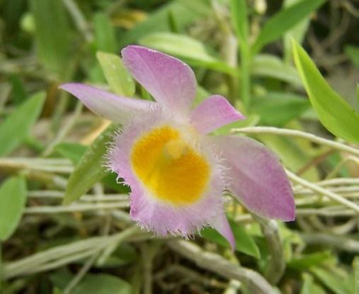 Дендробиум Лоддигеза (D. loddigesii)