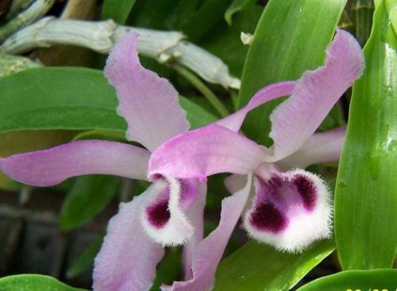 Дендробиум Париша (D. рarishii)