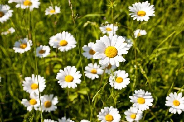 Нивяник цветки