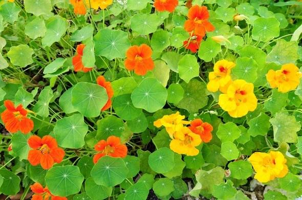 Настурция цветы