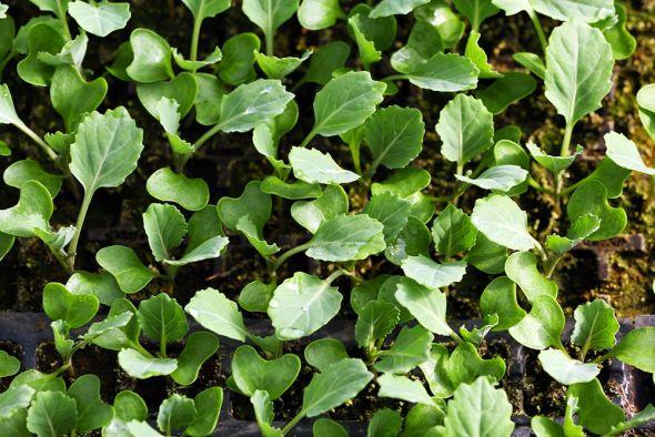 Как вырастить рассаду ранней капусты крепкой и жизнеспособной?
