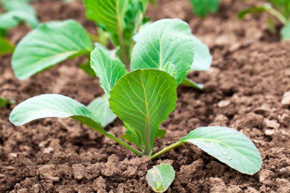 Перед тем, как высаживать рассаду в грунт, ее нужно обязательно закалить