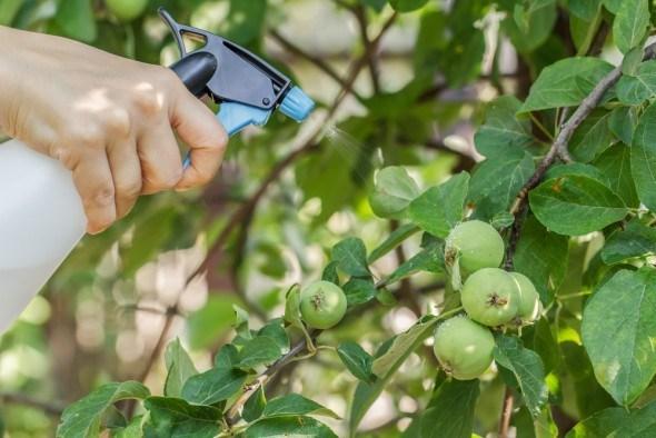 Опрыскивание яблони от вредителей