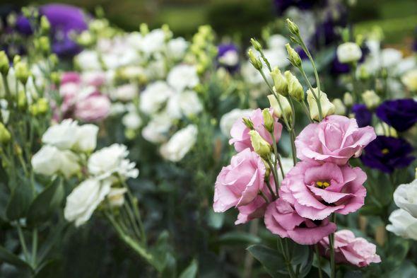 Эустома — цветок, который покоряет сердца