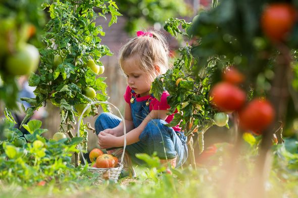 выращивание помидоров и клубники