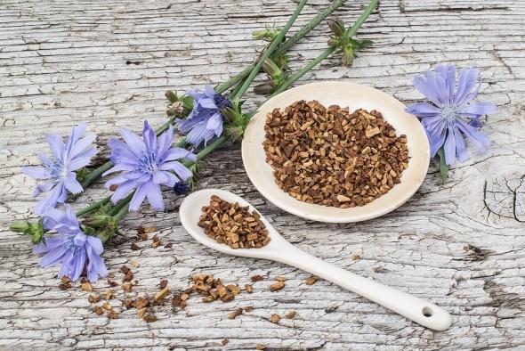 Целебный и магический цикорий: полезные свойства, применение в народной медицине