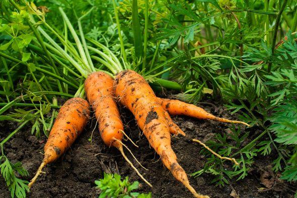 О секретах агротехники моркови
