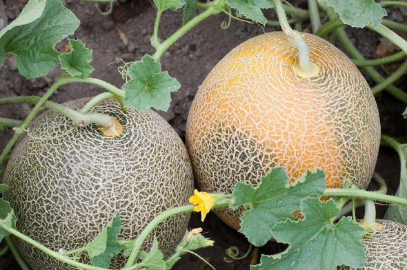 Сладкая дыня: основы выращивания и ухода