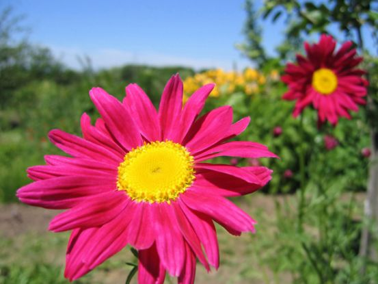 Пиретрум: агротехника и выращивание необычной «ромашки»