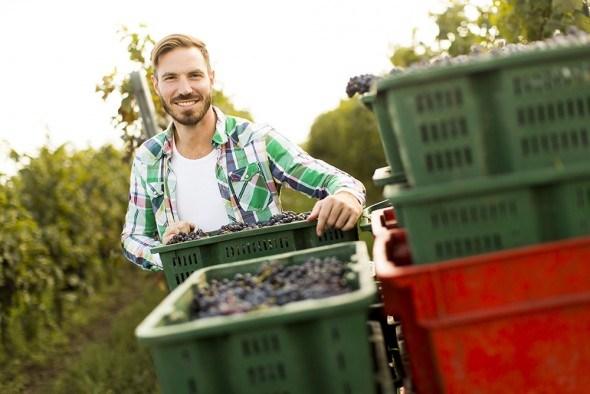 Молодой парень урожай винограда