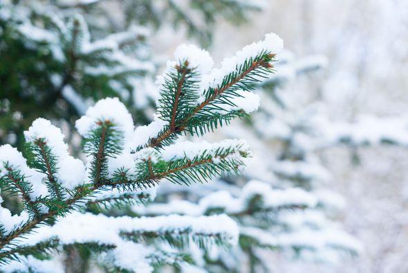 Хвойные растения требуют особого ухода зимой