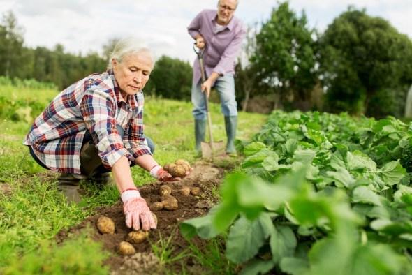 Супружеская пара сажает картошку