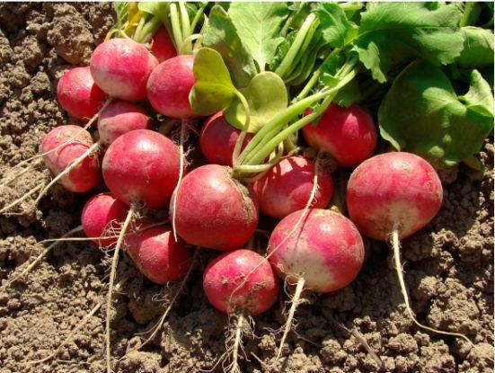 Редис — самый ранний овощ с грядки