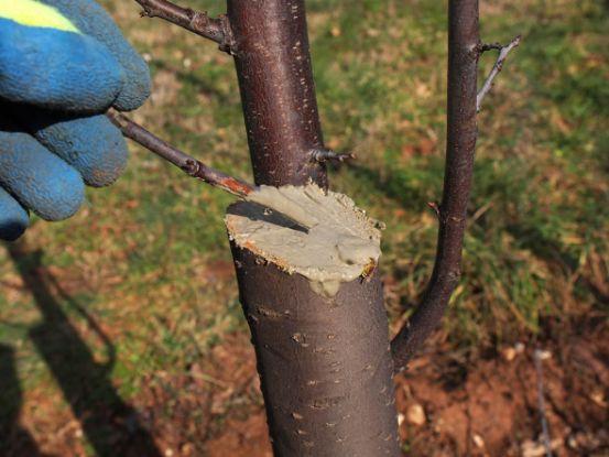 Прививка фруктового дерева