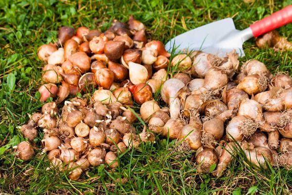 Покупка луковиц: как выбрать качественный посадочный материал?