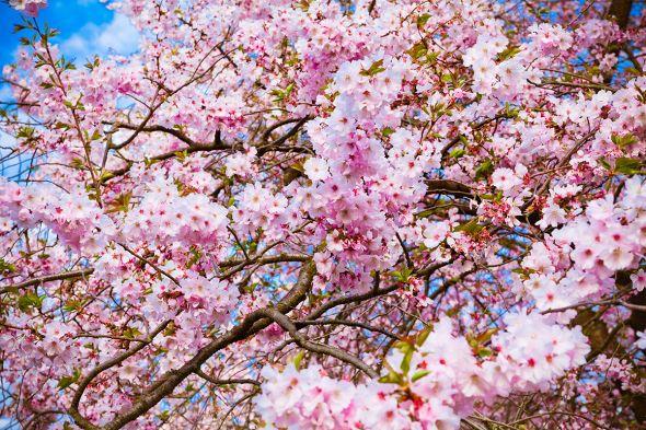 Сакура: разбираемся в классификации