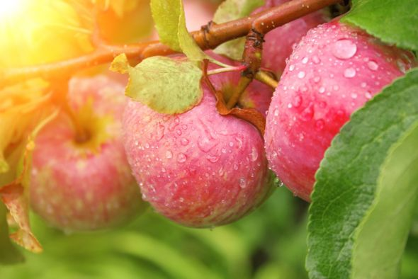Сорта яблони, устойчивые к грибным болезням, которые порадуют вас отменным вкусом плодов и высокой урожайностью