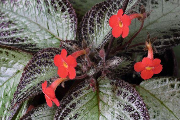 Эписция: 6 секретов агротехники