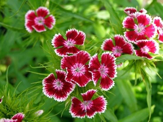 Гвоздика турецкая: основы выращивания, способы размножения, сорта