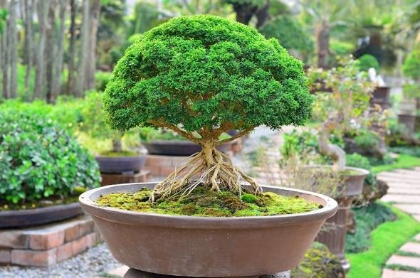Бонсаи — дело тонкое. Особенности размножения, выращивания и обрезки