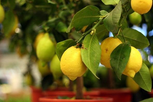 Лимонное дерево: выращиваем и размножаем у себя дома