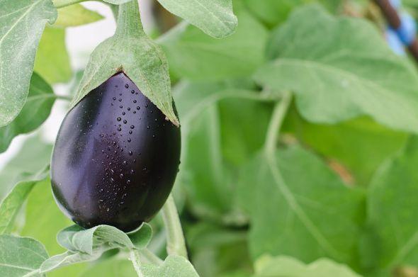 При выращивании баклажана важно соблюдать агротехнику