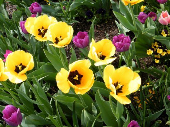 Пусть весна порадует нас тюльпанами!