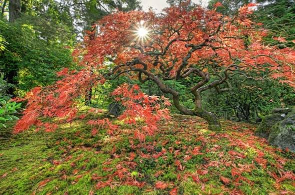 Японский клен красные листья