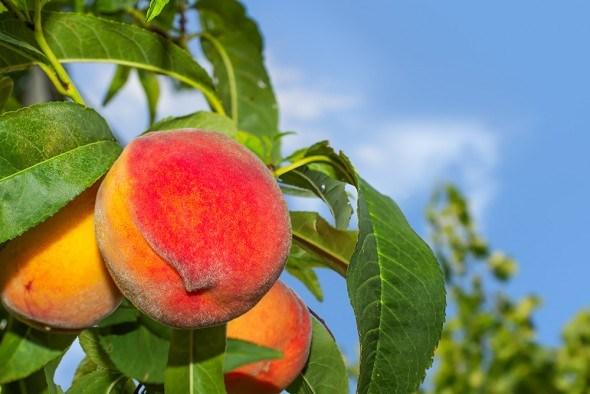Рекомендации опытного садовода: осенняя посадка персика