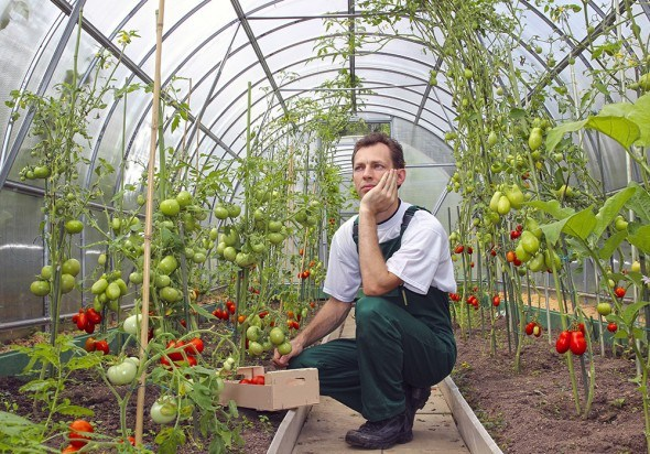 Мужчина в теплице с помидорами