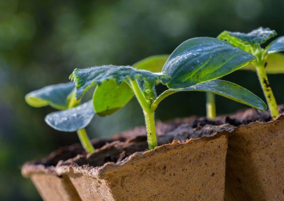 как вырастить рассаду овощей