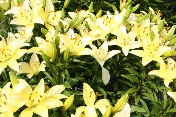 Великолепие лилии