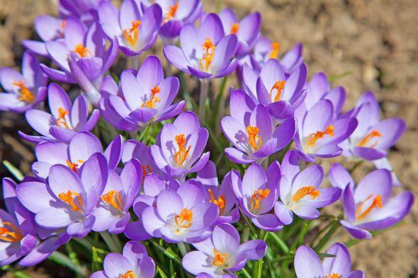 Нежные крокусы: основы выращивания и ухода