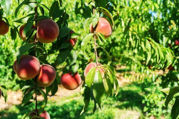 Персиковый сад — это возможно!