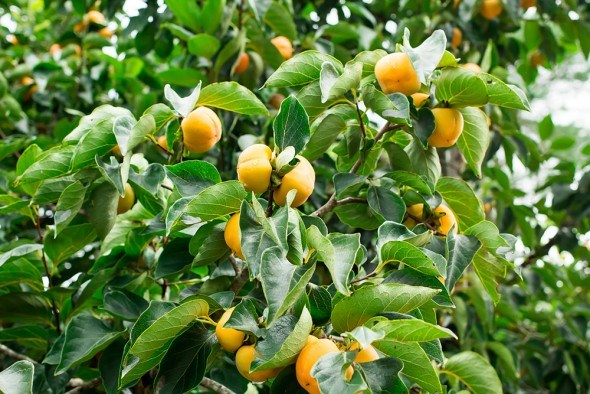 Хурма дерево плоды