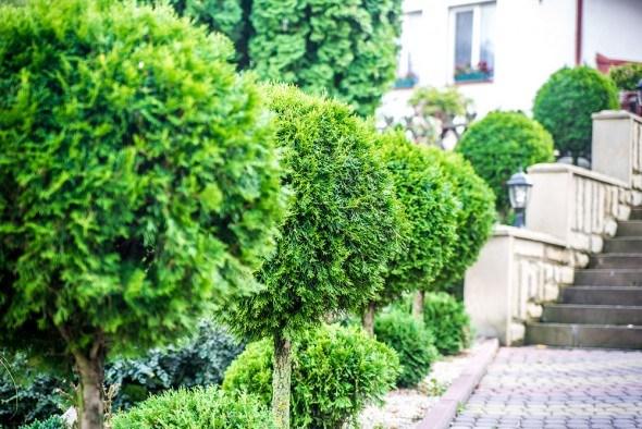 Шаровидная форма кроны хвойные растения